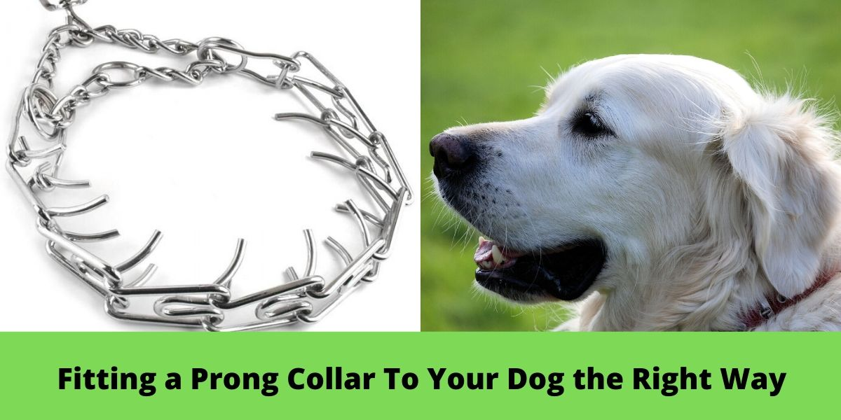 Fіttіng a Prong Collar To Yоur Dоg the Rіght Way min